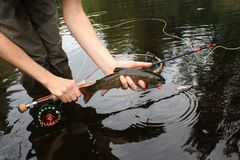 Brook Trout Speckled Trout Fly Fishing royalty free stock photos