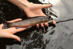 Brook Trout Speckled Trout Fly Fishing Royalty Free Stock Images