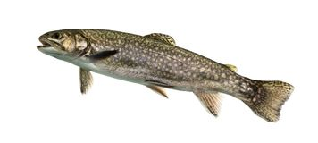 Brook trout swimming, isolated. On white royalty free stock photo