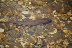 Brook trout under water. Orange and white fins stock images