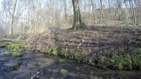 Brook water flow and blue hepatica flowers on shore. 4K stock video footage