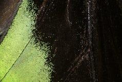 Brookiana Trogonoptera - τροπικό buttelfly Rajah Brooke Birdwings- στοκ εικόνες