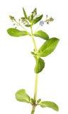 Brooklime или европейское speedwell изолированные на белой предпосылке лекарственное растение Стоковая Фотография RF