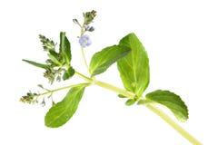 Brooklime или европейское speedwell изолированные на белой предпосылке лекарственное растение Стоковая Фотография