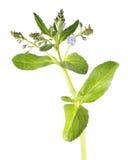 Brooklime- eller européteveronika som isoleras på vit bakgrund medicinal växt arkivbilder