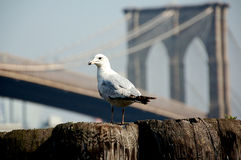 Brooklyn Bridge in NYC. Seagull with Brooklyn Bridge in New York City stock images