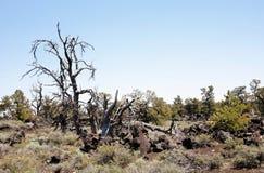 Broom дерево ручки в естественном semi-засушливом ландшафте Стоковое Изображение