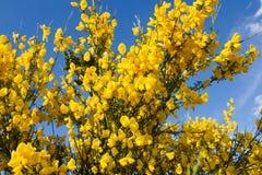 Broom in bloom, cytisus scoparius, flowers, plants, botanic. Cytisus scoparius, the common broom or Scotch broom is a perennial leguminous shrub native to Royalty Free Stock Images