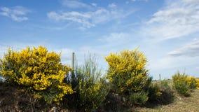 Broom in bloom, cytisus scoparius, flowers, plants, botanic. Cytisus scoparius, the common broom or Scotch broom is a perennial leguminous shrub native to Royalty Free Stock Photo