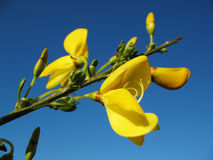 Broom blossoms with blue sky Stock Photos
