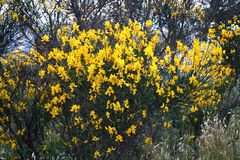 Broom bush. Captured in Tolentino,s countryside during summer 2006 Royalty Free Stock Photography