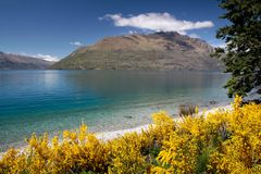 Broom bushes on the banks of Lake Wakatipu Stock Images
