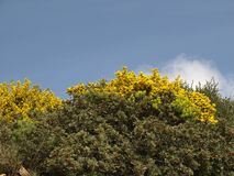 Broom bushes at the Costa del Sud, South Sardinia Stock Image