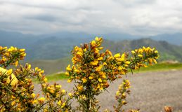 Broom bushes with yellow flowers. In  cloudy day of spring stock image