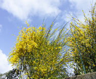 broom in flower in a garden Royalty Free Stock Photography