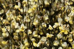 Broom Flowers Royalty Free Stock Photography