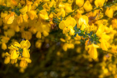 Broom. In Leudal, Netherlandsq Stock Photography