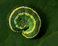 Broom Moth, Melanchra pisi larva Royalty Free Stock Images