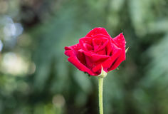 Broom red rose for Valentine Day Stock Photography