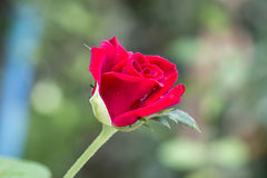 Broom red rose for Valentine Day Royalty Free Stock Images