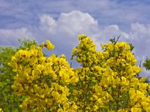 Broom shrub in front of blue cloud sky Stock Images