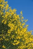 Broom sky. Bright yellow broom against a blue sky Royalty Free Stock Image