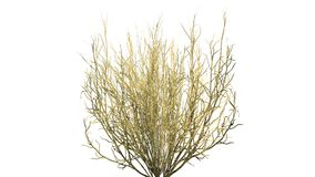 Broom snake weed fall - isolated on white background Royalty Free Stock Photo