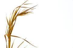 Broom Straw Stock Image