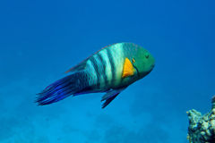 Broom-tail wrasse. In the natural environment Stock Images