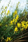 Broom with yellow flowers royalty free stock images