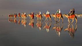 Broome, Austrália Ocidental - 11 de setembro de 2014: Camelos na praia do cabo fotografia de stock royalty free