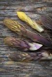 Broomrape de haricot Image stock