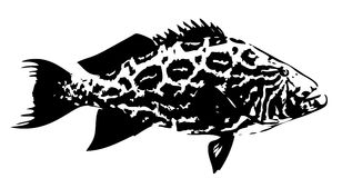Broomtail grouper fish  - vector Stock Photo
