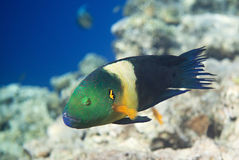 Broomtail wrasse Royalty-vrije Stock Foto's