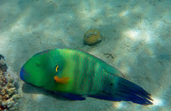 Broomtail wrasse Royalty-vrije Stock Foto