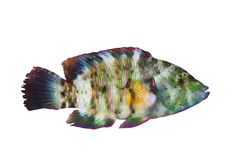 Broomtail wrasse Stock Images