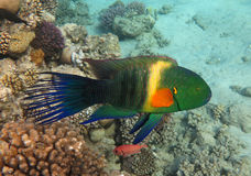 Broomtail Wrasse. Colorful Broomtail Wrasse in the Coral Reef, Red Sea Stock Images