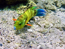 Broomtail wrasse female Stock Images