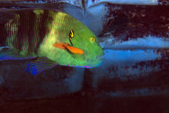 Broomtail wrasse in the Red sea. Royalty Free Stock Photos