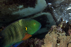 Broomtail wrassein de Red Sea. Stock Photography