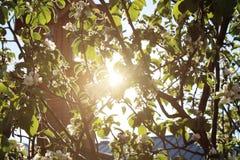 Broschyrträd som strålarna av solen är synliga äppleträd till och med Royaltyfri Foto