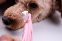 Brosse à dents de participation de vétérinaire avec la pâte dentifrice avec le chien à l'arrière-plan image libre de droits