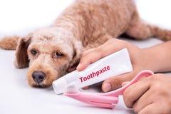 Brosse à dents et pâte dentifrice de participation de main avec le chien à l'arrière-plan photo stock