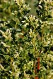 Brosse de coyote, balai de chaparal, sous-espèce de pilularis de Baccharis consamguinea, buisson femelle Photographie stock