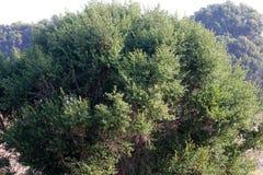 Brosse de coyote, balai de chaparal, sous-espèce de pilularis de Baccharis consamguinea, buisson femelle Images libres de droits