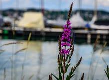 Brosses et fleurs chez le Lac de Constance photo stock
