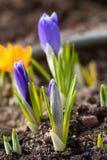 Brota os açafrões violetas macro Imagem de Stock
