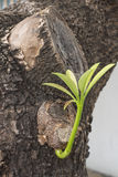 Brotando as folhas em um tronco Fotografia de Stock Royalty Free