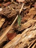 Brotar da semente Fotografia de Stock Royalty Free