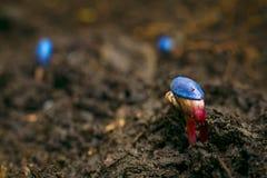 Brotar das sementes de girassol Fotografia de Stock
